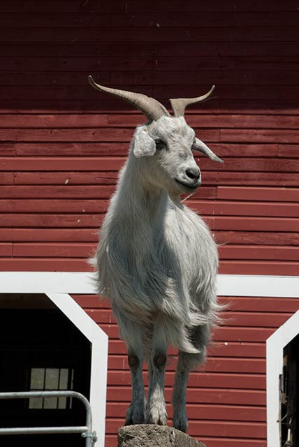 Jack and the other cashmere goats are pets at Valley Farms